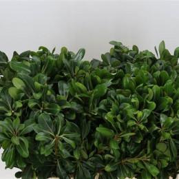 Pittosporum Nurit (Питтоспорум Нурит) В60