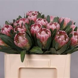 Protea Lady Di (Протея Леди Ди) В50