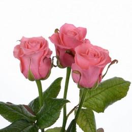 Rosa Gr Ancore ( Анкор ) В50 Чеховский Сад