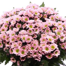 Chrys Santini Rossi Pink (Хриз Сантини Росси Пинк) В55