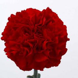 Dianthus st grand slam(Гвоздика ст Гранд Слэм) В65