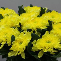 Chrys. gr. Zembla Yellow (Хриз одн. Зембла Еллоу) В70