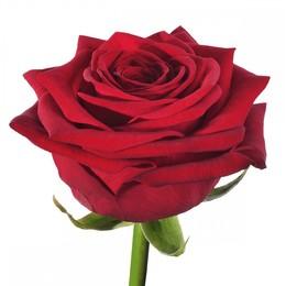 Rosa Gr Red Naomi ( Ред Наоми ) В60 Чеховский Сад