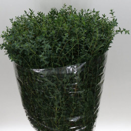 Eucalyptus parvifolia (Эвкалипт Парвифолия) В70