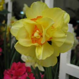 Narcissus D Tahiti (Нарцисс Тахити) В50