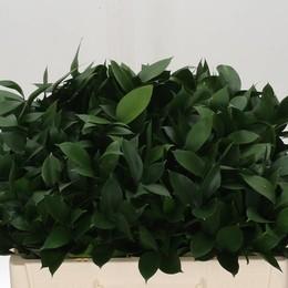 Ruscus Hypophyllum (Рускус Гипофилум) В80