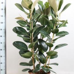 Ficus Gemengd Elastica (Фикус Геменд Эластика) В17