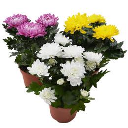 Chrysantemum Zembla Mix (Хризантема Зембла Микс) В13