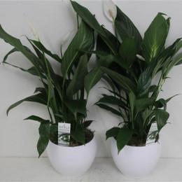 Spathiphyllum (Спатифиллиум) В17
