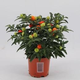 Solanum Pseudocapsicum (Соланум Pseudocapsicum) 12 горш.
