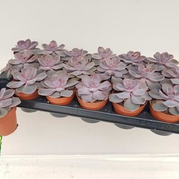 Echeveria Romantic Purple + Glitter (Echeveria Романтический Фиолетовый + Блеск) В1001.10.1939 0:00: