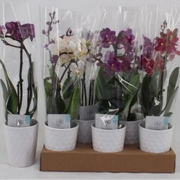 Phalaenopsis Mix 1 (Фаленопсис Микс 1 ств.) 12 горш.