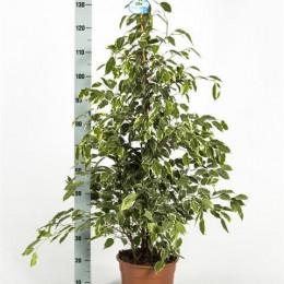 Ficus benjamina golden king (Фикус Бенджамина Голден Кинг) В150