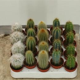 Cactus Gem (Кактус Джем) В10