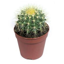 Echinocactus Grusonii (Эхинокактус Грусони) В12
