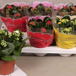 Kalanhoe B R Fl Gem 5kl (Каланхое Гем 5 цветов)В510