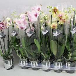 Phalaenopsis Gem 4 Kl (Фаленопсис Гем 4 Кл ) В12