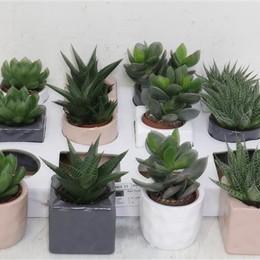 Succulent Gem 5 Srt (Cуккулент Гем 5 стр) В510
