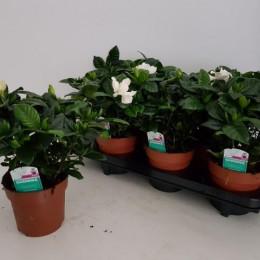 Gardenia Jasminoides (Гардения Жасминойдес) В13