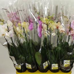 Phalaenopsis Mix 2  (Фаленопсис Микс 2 ств.)12 горш.