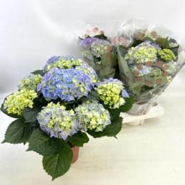 Hydrangea Gemengd (Гортензия Геменгд) В12
