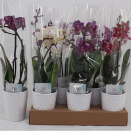 Phalaenopsis gemengd (Фаленопсис Геменгд) В55