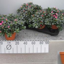 Rhododendron Si Mix (Рододендрон Си Микс) 13горш.