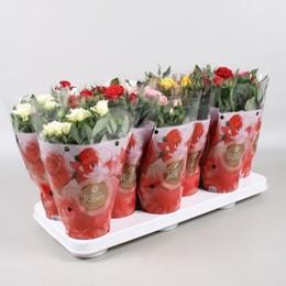 Rosa Favourite Gemengd (Роза Фаворит Геменд) В17