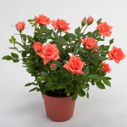 Rosa Jewel Oranje (Роза Джевел Оранж)