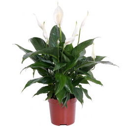 Spathiphyllum Bingo Cupido (Спатифиллум Бинго Купидо)