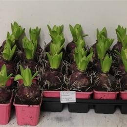 Hyacinth potted (Гиацинт Поттед) Irinaholl