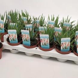 Aloe Humilis (Алое Хумилис) В508