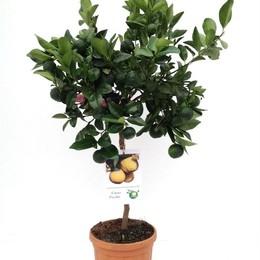 Citrus Limetta Pursha Rek Limoen (Цитрус Лиметта Пурша Рек Лимоен) В14