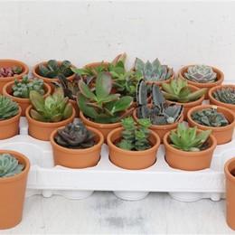 Succulenten Gemengd Showdoos (Суккулент Геменд Шоудос) В505