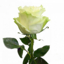 Rosa Mondial (Роза Мондиаль) В60 Luz Of Roses