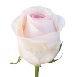 Rosa Senorita (Роза Сеньорита) В50 (ESPERANZA ROSAS)