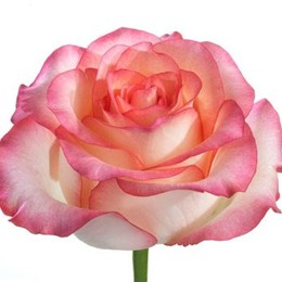 Rosa Gr Jumilia (Роза Гр Джумилия)  В80 Цветы Удмуртии