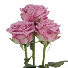 Rosa Gr Cool Water ( Кул Вотер ) В60 Rosa Prima