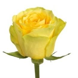 Rosa Gr Ilios (Роза Гр Илиос) В50