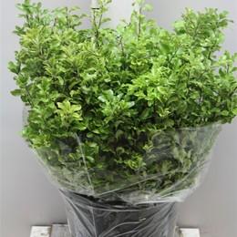 Pittosporum Fijn Green (Питтоспорум Фижн Грин)