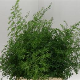 Asparagus Cwebe (Аспарагус Свеб) В50