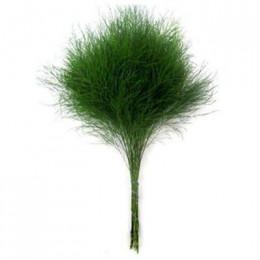 Аsparagus virgatus (Аспарагус виргатус) В80