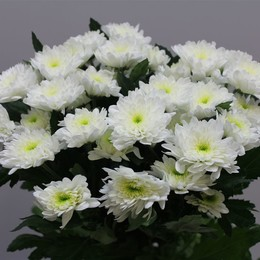 Chrys. tr. Euro White (Хриз. куст. Евро Вайт) В70