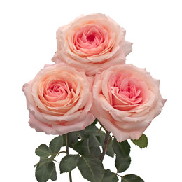 Rosa Gr Mayra's Bridal Pink ( Майра'с Бридал Пинк ) В60 Rosa Prima