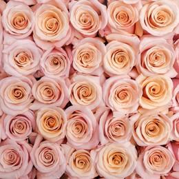 Rosa Gr Mother of Pearl ( Мазер оф Пеарл ) В60 Rosa Prima