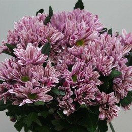 Chrys. tr. Stylist Pink (Хр. куст. Стилист Пинк) В70