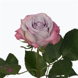 Rosa Gr Purple Haze (Роза Гр Перпл Хейз) В60
