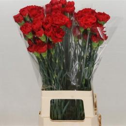 Dianthus Red (Гвоздика Красная) В70