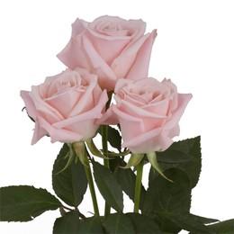 Rosa Gr Sweet Escimo ( Свеет Ескимо ) В60 Rosa Prima
