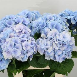Hydrangea lollipop blue (Гортензия Лоллипоп блу) В80